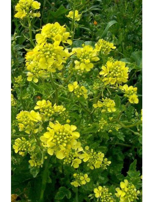 Гірчиця жовта (1кг)